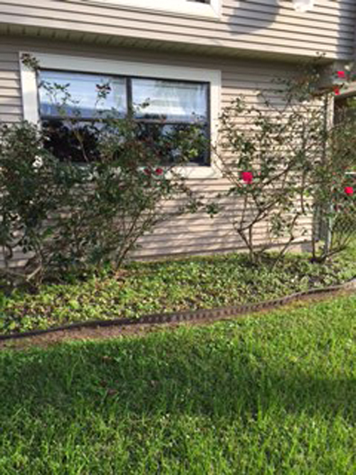 rose bushes